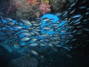 野田浜名物溶岩アーチとイサキの群れ。