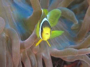 クマノミ幼魚。