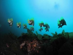 トリプルアーチのテングダイの群れ。